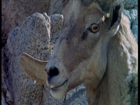 stockvideo's en b-roll-footage met face and horns of big horn sheep, california - rotsmuur