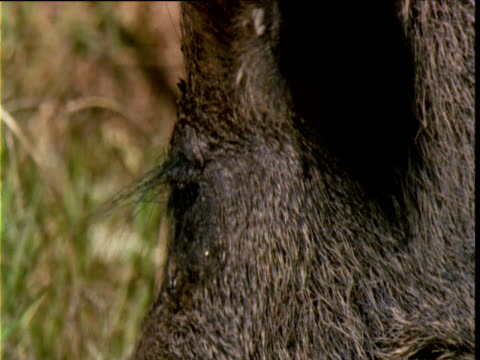 face and snout of feral pig as it grazes in marsh, lakefield national park, queensland, australia - naso di animale video stock e b–roll