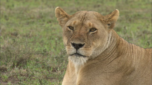 A face of a lioness and her facial expression at Serengeti National Park, Tanzania
