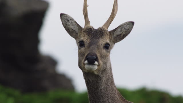 face of a male roe deer - hirsch stock-videos und b-roll-filmmaterial