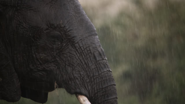 face of african elephant (loxodonta africana) on savannah during rain storm, kenya - rain stock videos & royalty-free footage