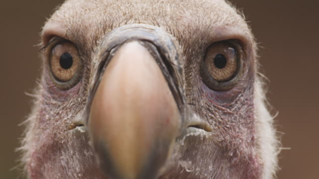 ECU face of African Vulture as it looks around