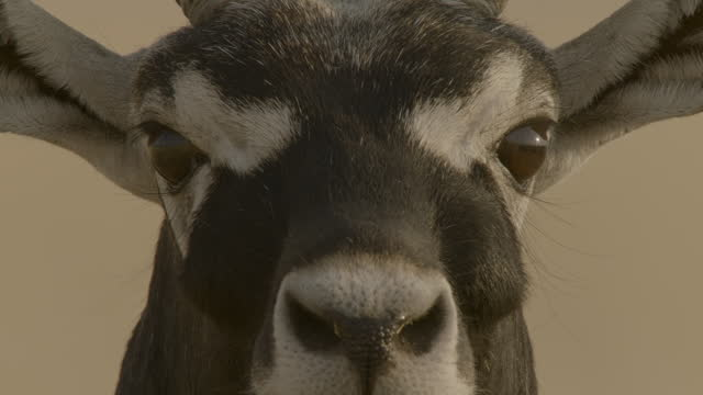 face of blackbuck, india. - hovering stock videos & royalty-free footage