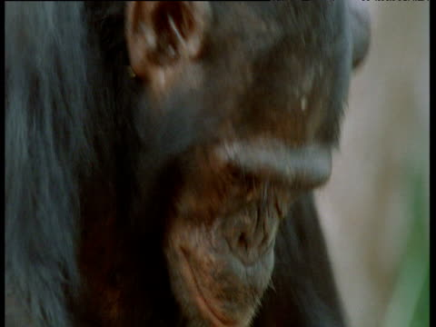 vídeos y material grabado en eventos de stock de face of chimpanzee as it attempts to crack nuts, congo - chimpancé común