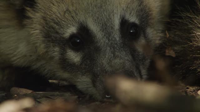 Face of coati (Nasua nasua) resting in forest.
