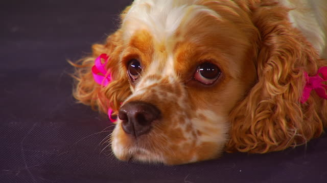 vidéos et rushes de cu face of cocker spaniel with ribbons tied to hair in her ears as she lie on floor / united states - noeud à boucle