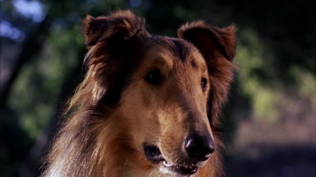 CU Face of collie dog