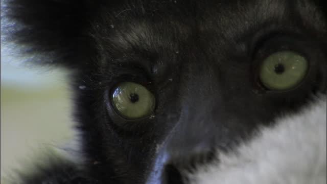 stockvideo's en b-roll-footage met face of dozing indri lemur (indri indri) resting in tree, madagascar - met de ogen dicht