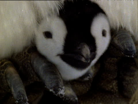 face of emperor penguin chick between adult's feet and snuggling into feathers looking at camera - emperor stock videos and b-roll footage