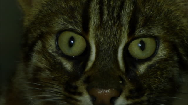 face of fishing cat (prionailurus viverrinus) at night - green eyes stock videos and b-roll footage