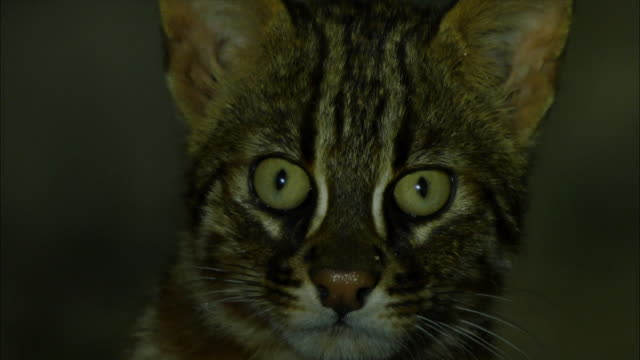 face of fishing cat (prionailurus viverrinus) at night - one animal stock-videos und b-roll-filmmaterial
