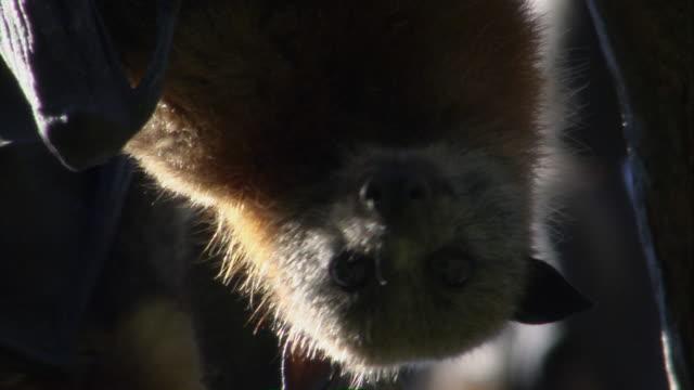 CU ZO Face of flying fox hanging from tree / Sydney , Australia
