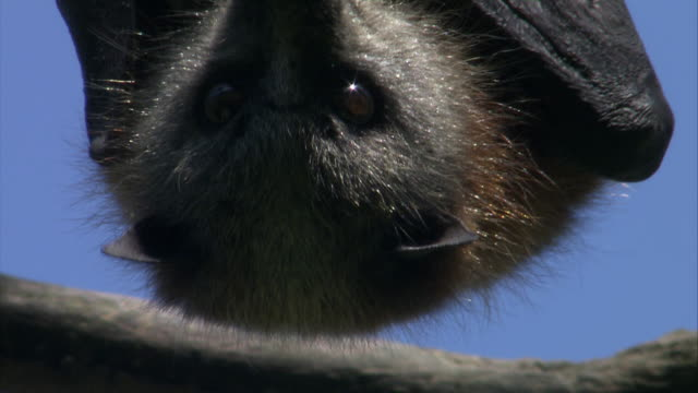 ecu face of flying fox hanging upside down on branch  / sydney , australia    - bat animal stock videos and b-roll footage