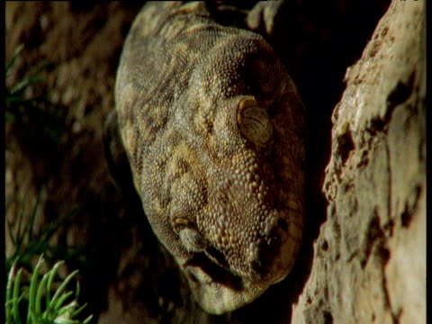 face of giant gecko as it licks its eyeball at night - french overseas territory stock videos & royalty-free footage