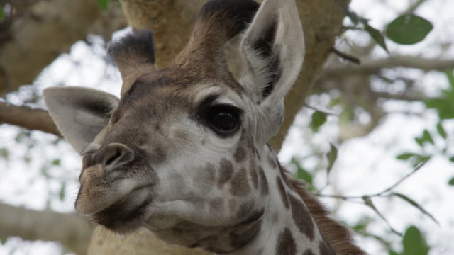face of giraffe looks around at the sound of various noises. - giraffe stock videos & royalty-free footage