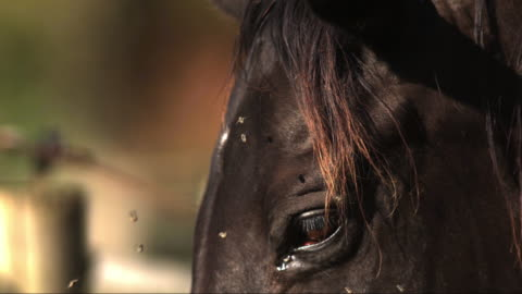 vidéos et rushes de slomo ecu face of horse with group of flies around its eye and shaking its head - cheval