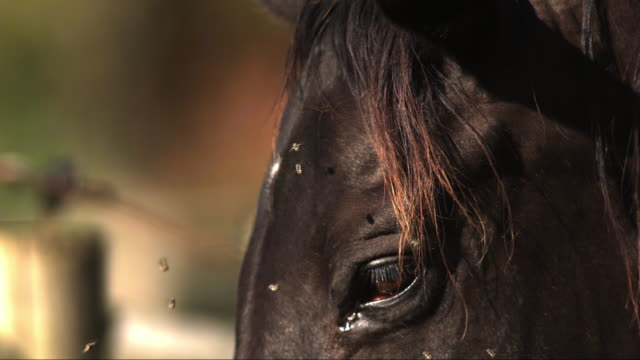vídeos de stock, filmes e b-roll de slomo ecu face of horse with group of flies around its eye and shaking its head - olho de animal