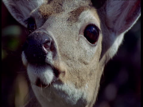 face of key deer as it peers around nervously, florida keys - bbc stock videos and b-roll footage