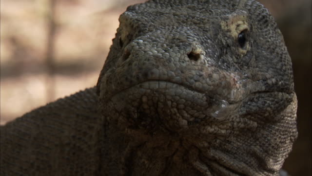 face of komodo dragon. - animal mouth stock videos & royalty-free footage
