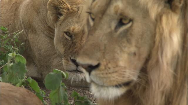 vídeos de stock, filmes e b-roll de a face of lion and a lioness at serengeti national park, tanzania - bigode de animal