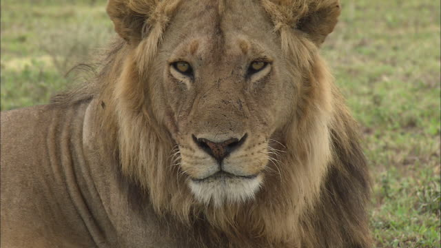 vídeos de stock, filmes e b-roll de a face of lion and his facial expression at serengeti national park, tanzania - machos