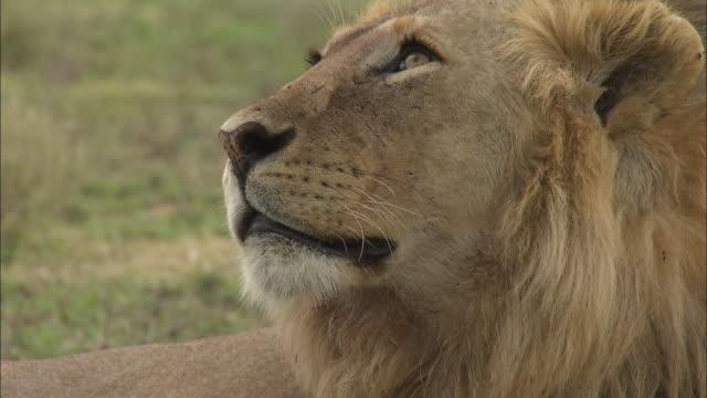 vídeos y material grabado en eventos de stock de a face of lion and his facial expression at serengeti national park, tanzania - boca de animal
