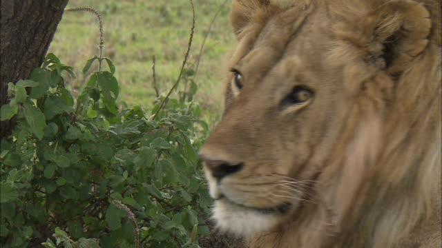 a face of lion in the bushes at serengeti national park, tanzania - männliches tier stock-videos und b-roll-filmmaterial