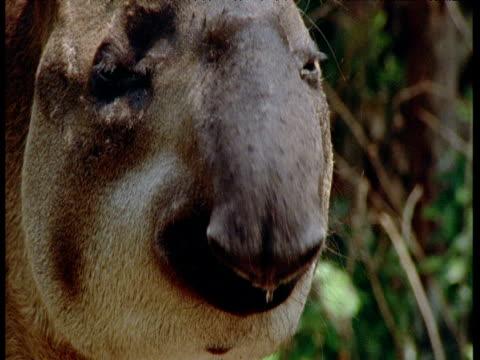 face of lowland tapir as it sniffs air, south america - tierische nase stock-videos und b-roll-filmmaterial