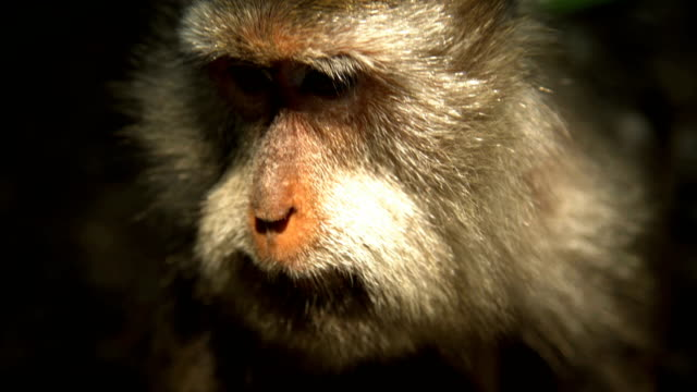 Face of Macaque primate Hindu nature reserve Indonesia
