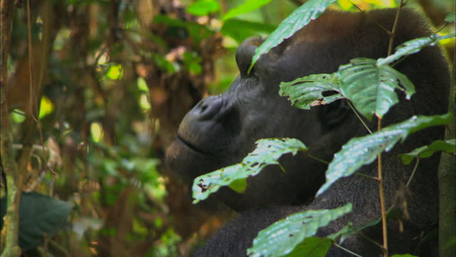 face of male g. g. gorilla, tropical jungle, congo basin, africa - named wilderness area stock videos & royalty-free footage