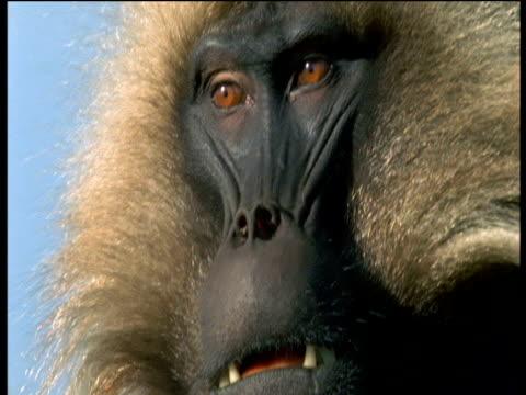 vídeos de stock, filmes e b-roll de face of male gelada, ethiopia - parte do corpo animal