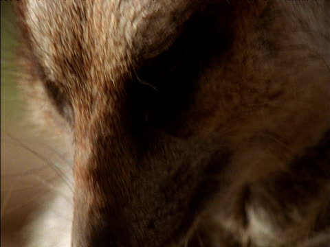 face of meerkat as it chews - bbc stock videos and b-roll footage