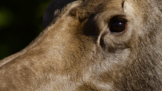 face of moose, alaska. - chugach national forest stock videos & royalty-free footage
