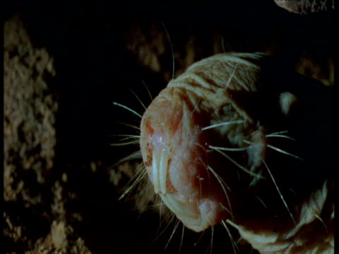 stockvideo's en b-roll-footage met face of naked mole rat as it pauses while walking backwards down tunnel, africa - rat