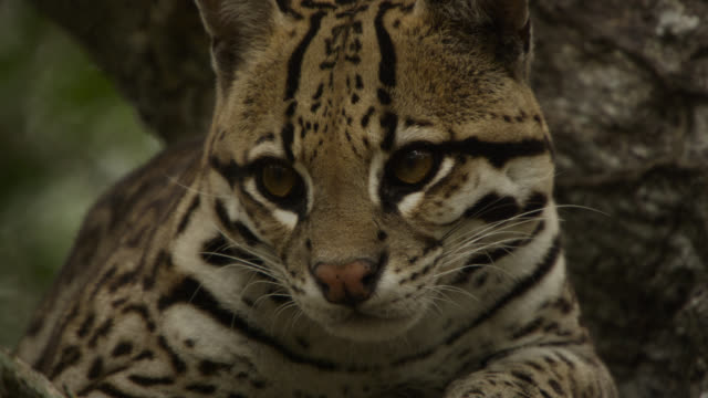 face of ocelot (leopardus pardalis) resting in tree. - south america stock videos & royalty-free footage