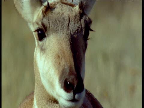 face of pronghorn looking alert then it leaves, montana - プロングホーン点の映像素材/bロール