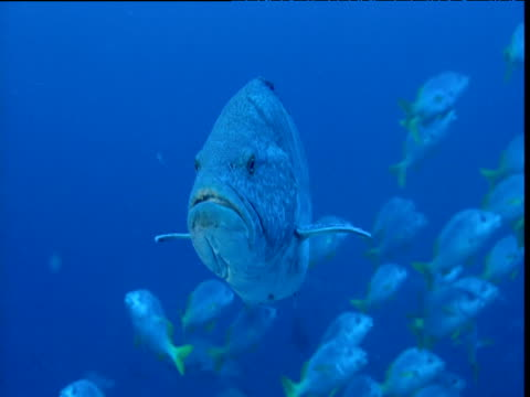 vídeos de stock e filmes b-roll de face of sailfin grouper (mycteroperca olfax), shoal of yellow tailed grunts in background, cocos island, costa rica - cabeça de animal