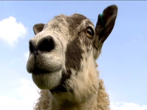 vídeos y material grabado en eventos de stock de face of sheep - oveja merina