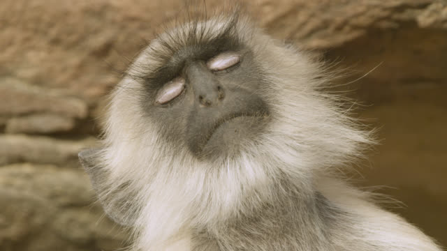 face of sleeping grey langur monkey (semnopithecus dussumieri), jodhpur, india - eyelid stock videos and b-roll footage