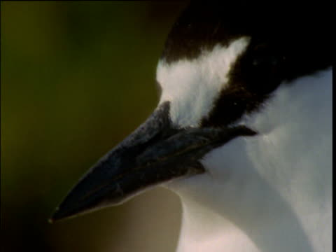 face of sooty tern as it looks around, lord howe island, australia - maul stock-videos und b-roll-filmmaterial
