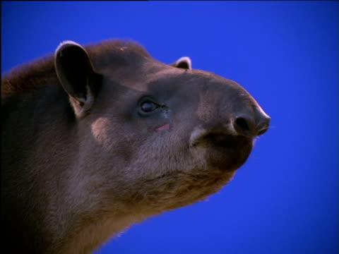 stockvideo's en b-roll-footage met face of tapir as it chews on its food - neus van een dier