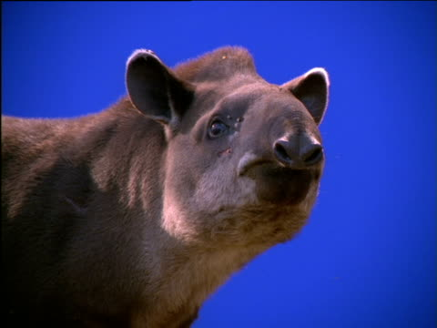 stockvideo's en b-roll-footage met face of tapir chewing - neus van een dier