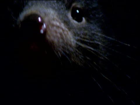vídeos de stock, filmes e b-roll de face of tasmanian devil staring at camera then withdrawing into dark, tasmania - medo