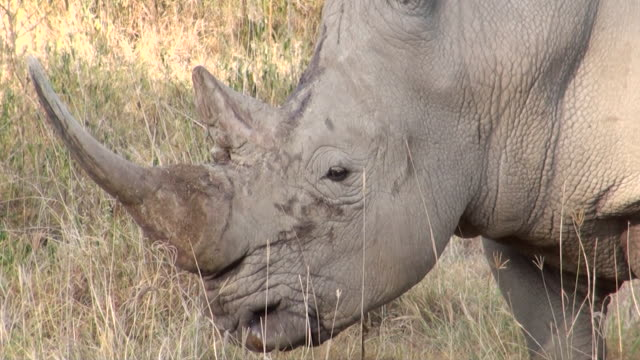 CU Face of white rhinoceros at lake nakuru national park AUDIO / Nakuru, Rift Valley, Kenya
