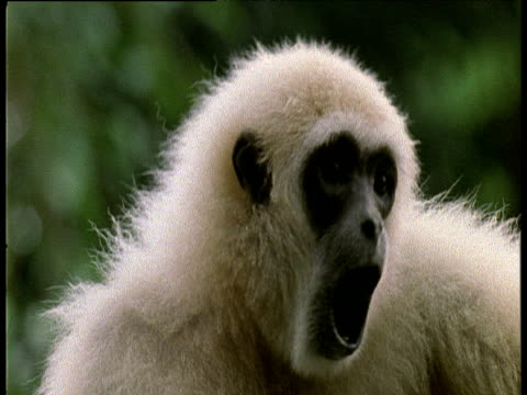 Face of white White Handed Gibbon calling.