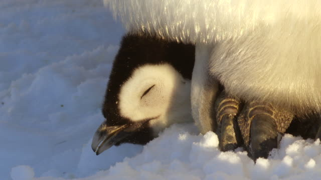 ECU Face of young Emperor penguin chick on feet of parent in snow / Dumont D'Urville Station, Adelie Land, Antarctica