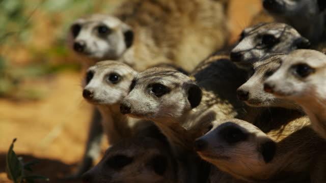 cu faces of meerkat group looking at predator then pulling back - mellanstor djurflock bildbanksvideor och videomaterial från bakom kulisserna