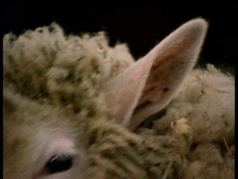 facial features of dolly the sheep chewing hay in barn - cloning stock videos and b-roll footage