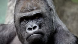 Facial gesture and face caring of a gorilla male, severe silverback.