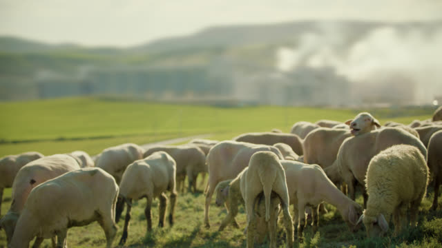 factory without harm to nature and flock of sheep - lamb animal stock videos & royalty-free footage